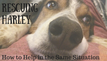 Rescuing Harley - Four Years Later (How to Help in the Same Situation)   Making My Home Happy
